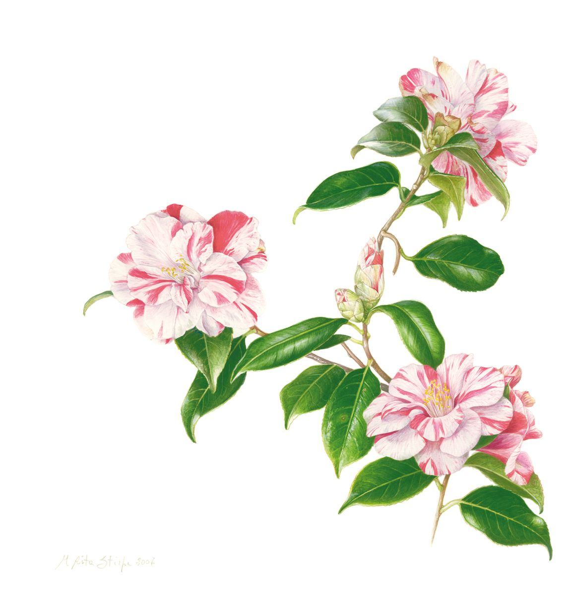 Pittura Botanica - Maria Rita Stirpe