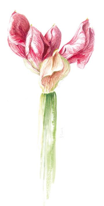 Pittura Botanica - Silvana Volpato