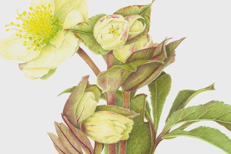 Attività online - Pillole di Pittura Botanica - Silvana Volpato