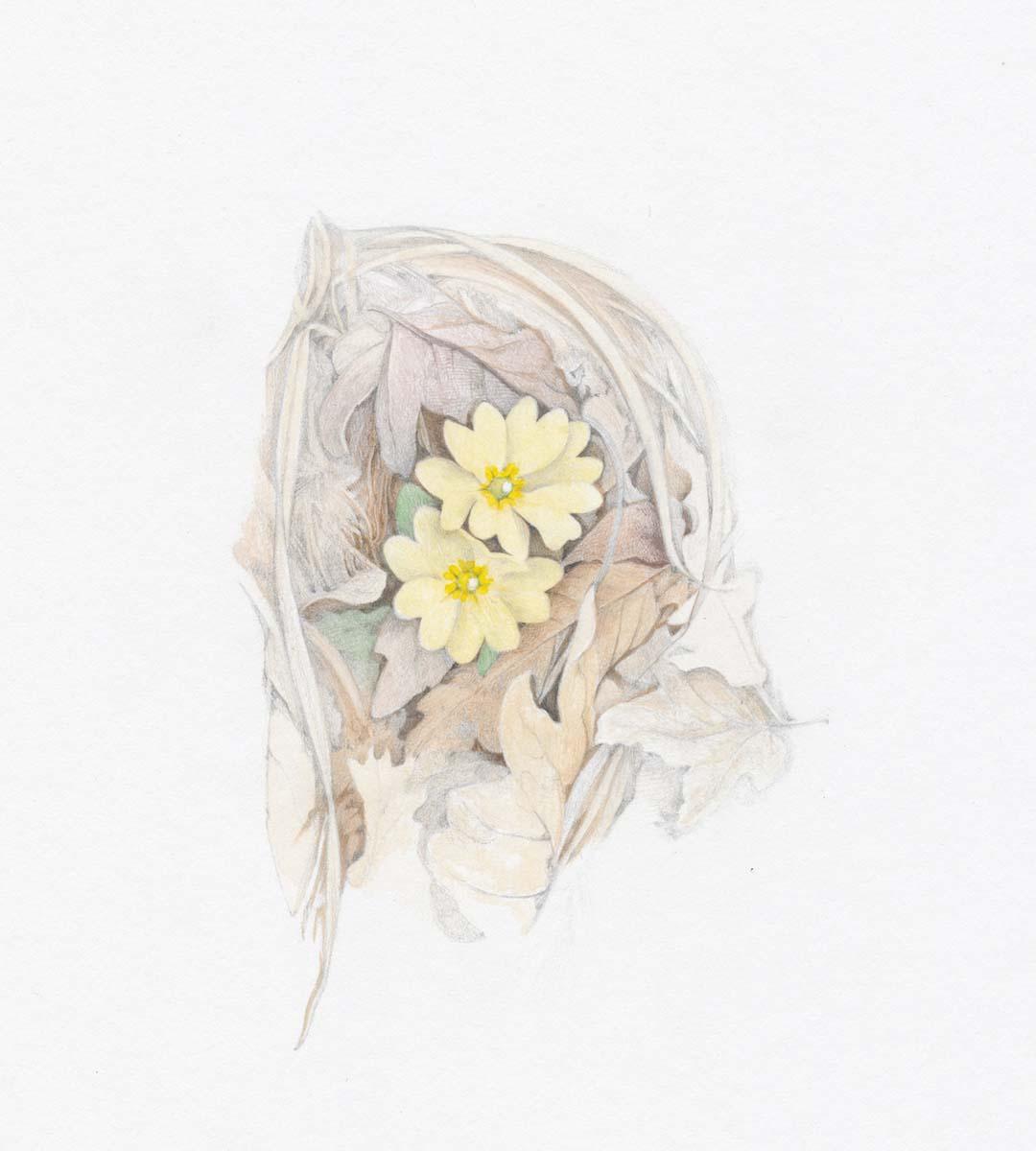 Carcano - Primula officinalis - Web