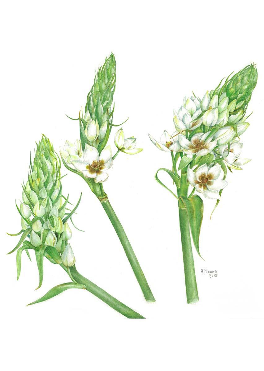 Nocera - Ornithogalum thyrsoides - Web