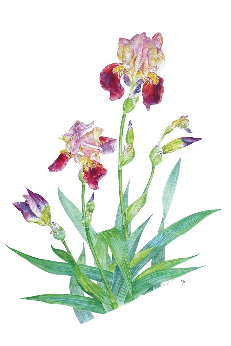 Petrini - Iris jacquesiana - Web