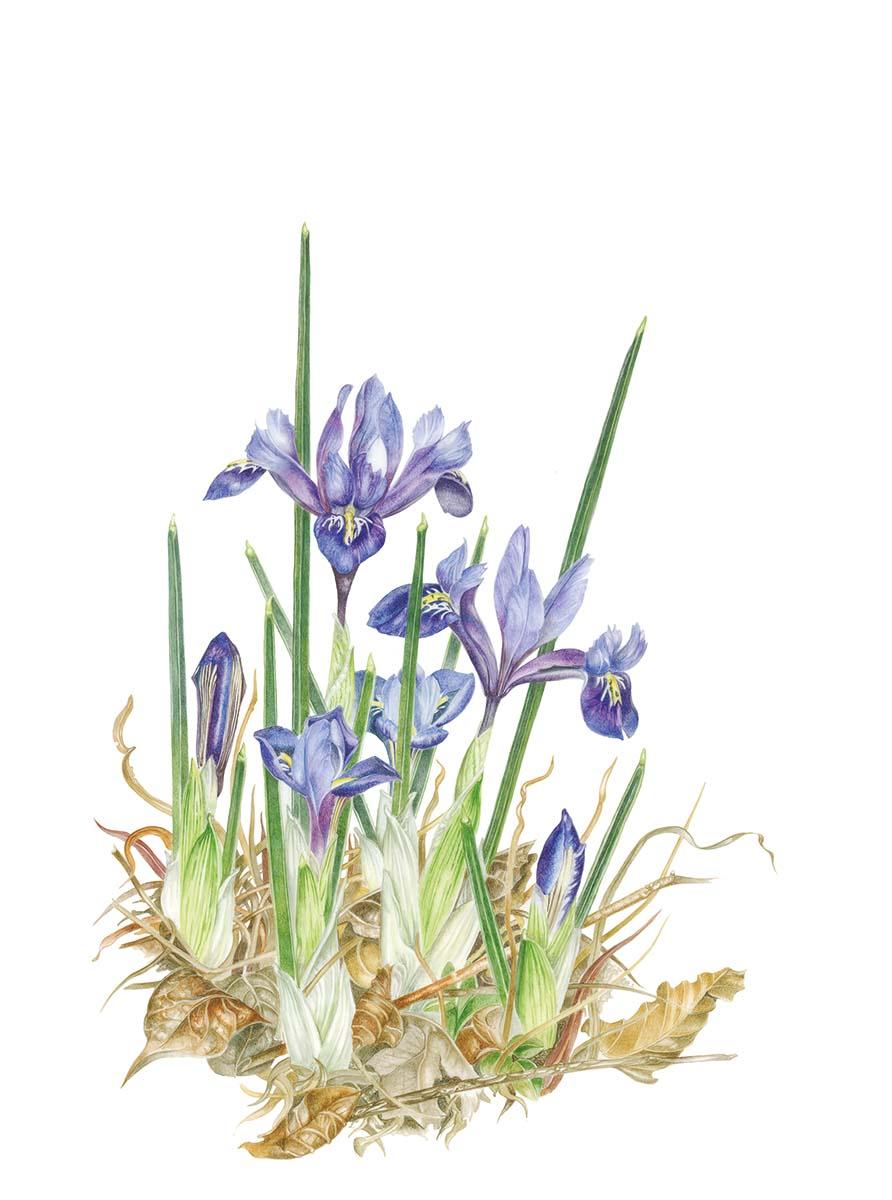 Petrini - Iris reticulata - Web