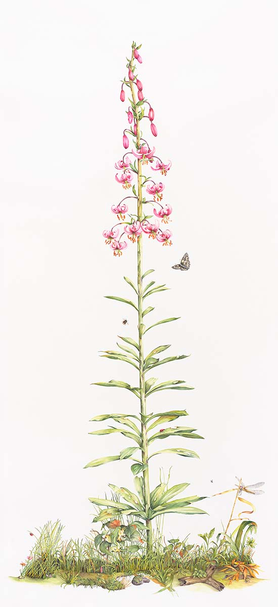 Pucci da Filicaja - Lilium martagon - Web
