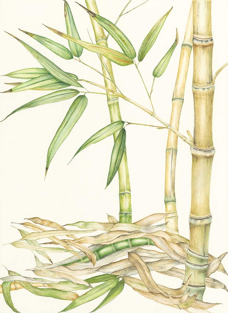 Savoia - Bamboo - Web