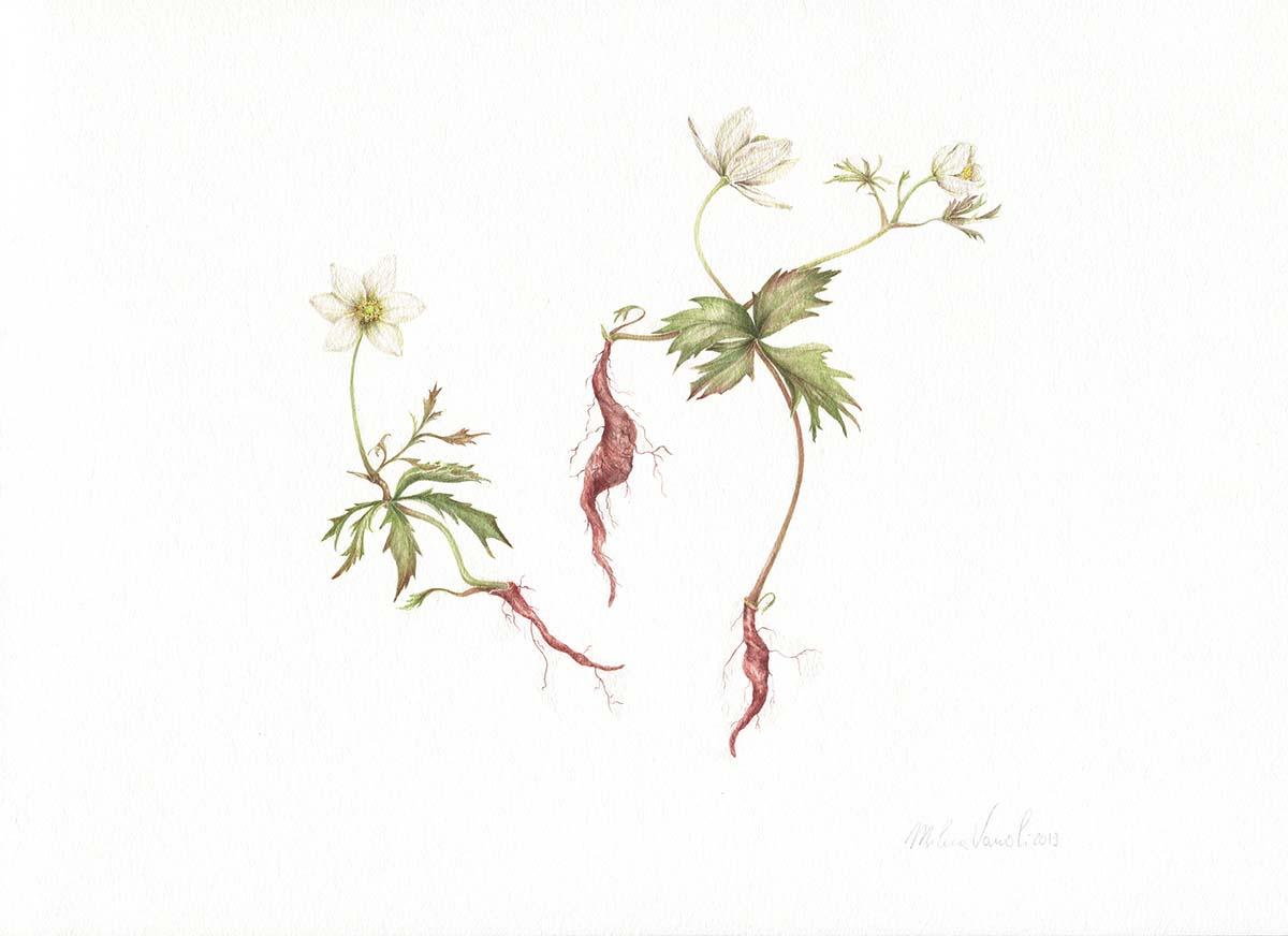Vanoli - Anemone nemorosa - Web