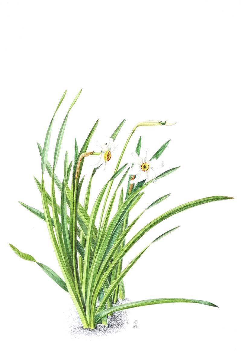 Zito - Narcissus poeticus - Web