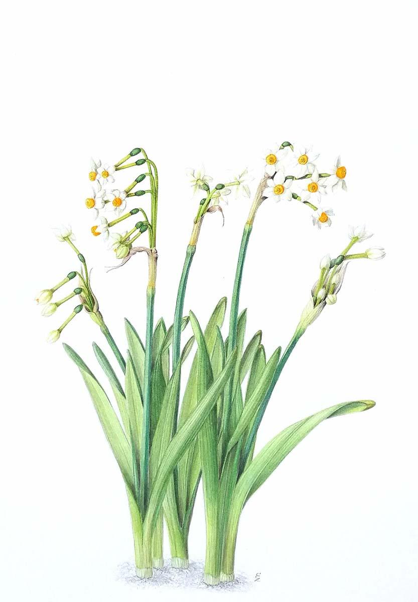 Zito - Narcissus tazetta - Web